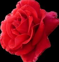 Rose by alylt