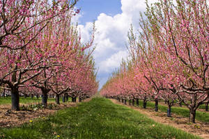 Nectarine Orchard by muffet1