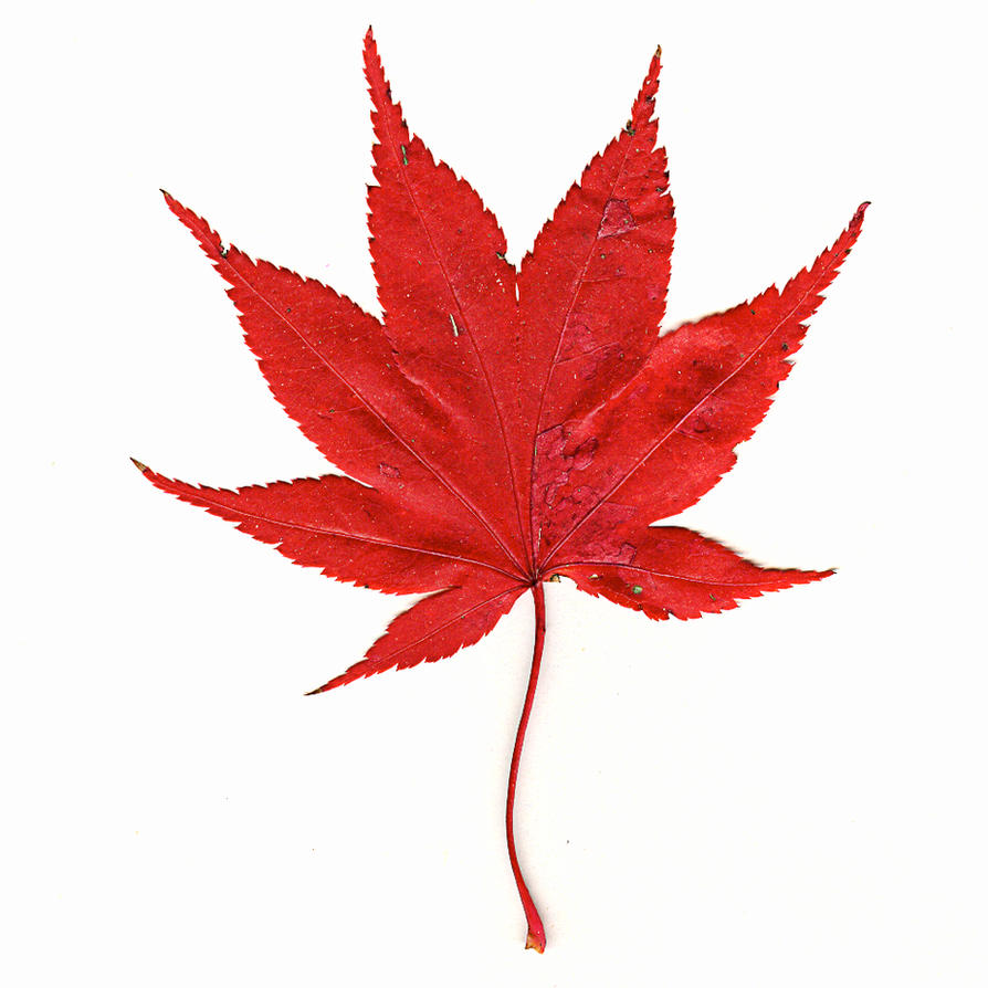 Japanese Maple Leaf by muffet1