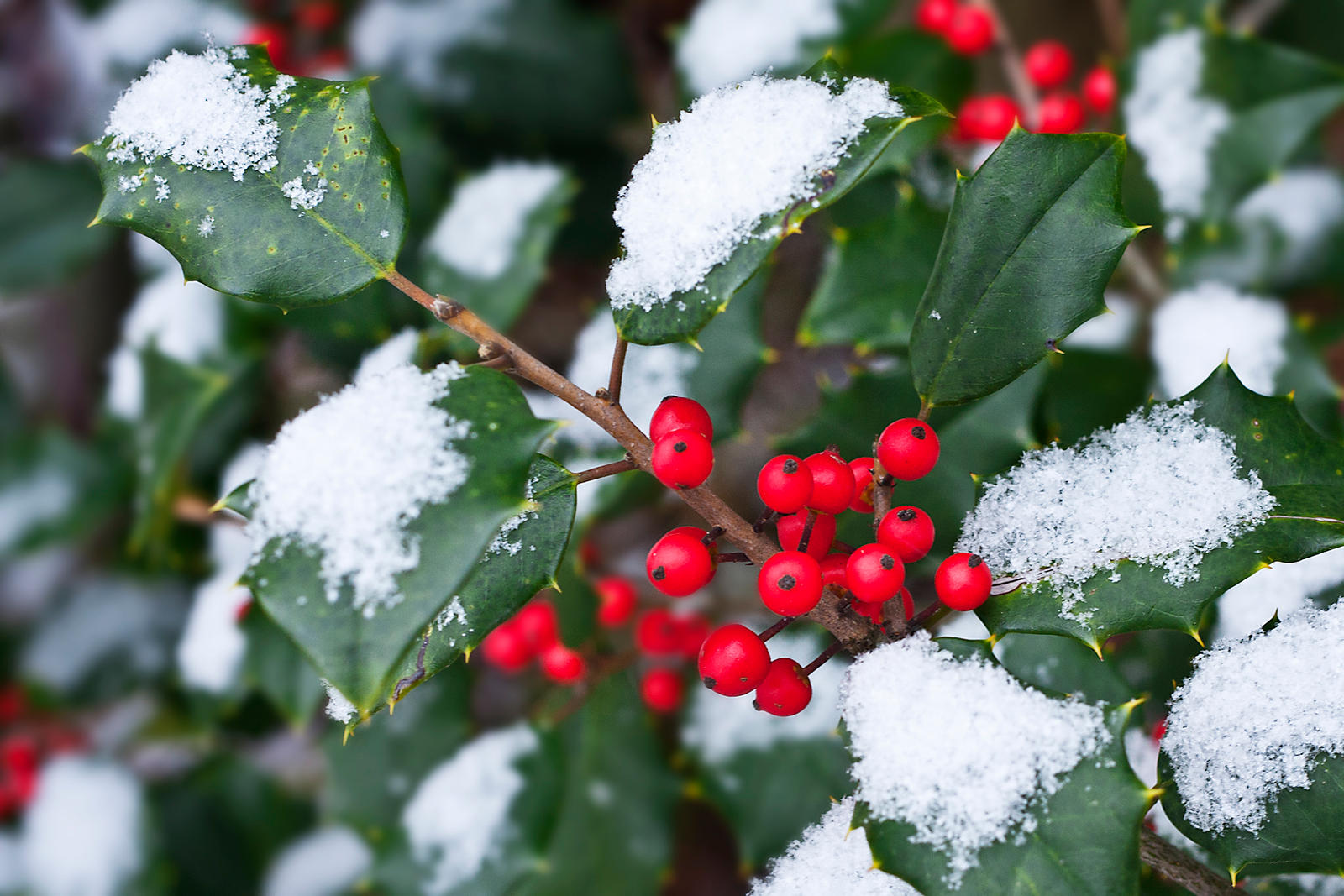 Snowy Holly by muffet1 on deviantART