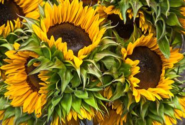 Farmer's Market Sunflowers by muffet1