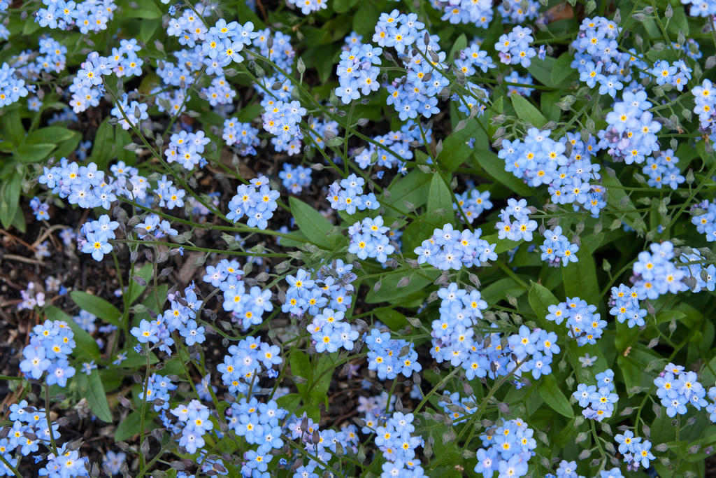 Forget-Me-Nots by muffet1