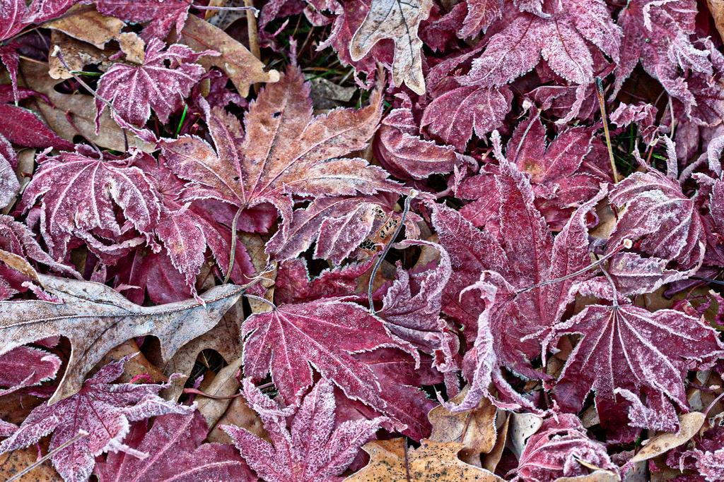 Frosty Fallen Leaves by muffet1