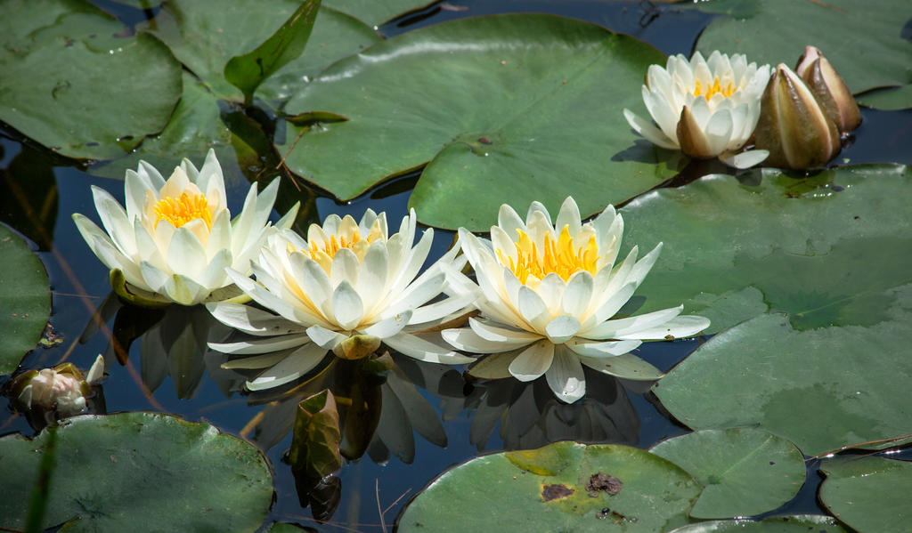 Waterlilies by muffet1