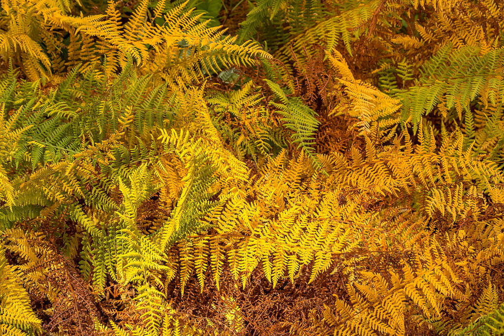 Autumn Ferns by muffet1