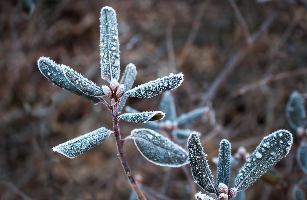 Frost on the Rhodedendron by muffet1