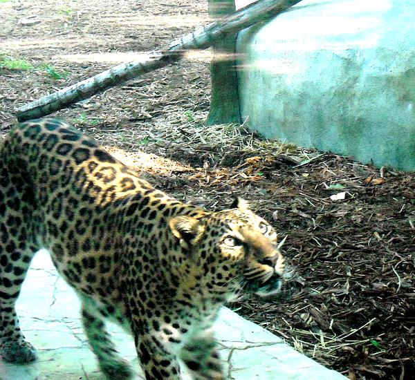 Leopard by ActsofArt