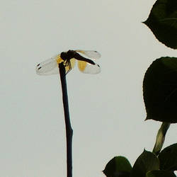 Lone Dragonfly by TerrieSoberg