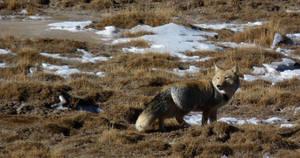 Tibetan Fox