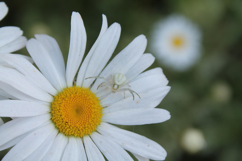 White spider on flower by nirida clam on deviantart white spider on flower by nirida clam mightylinksfo