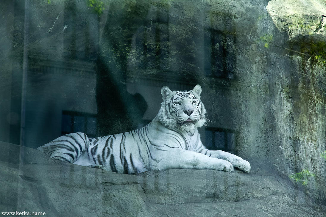 white tiger in the showcase by Ketka