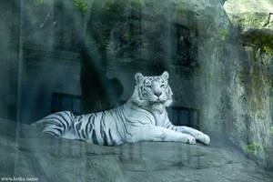 white tiger in the showcase
