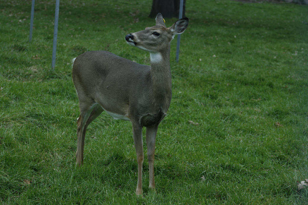 White-Tailed Deer 6 by CastleGraphics