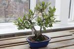 Bonsai Tree 7