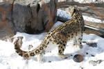 Snow Leopard 44