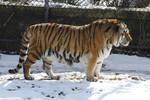 Amur Tiger 15