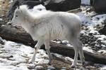 Dall Sheep 1