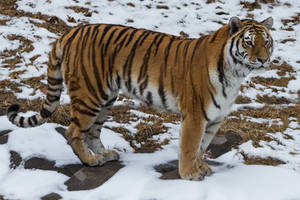 Amur Tiger 19 by CastleGraphics