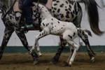 Appaloosa Foal 5
