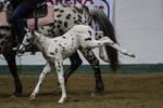 Appaloosa Foal 8