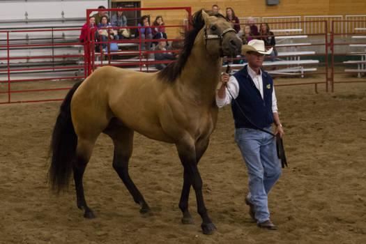 Quarter Horse 9