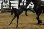 Friesian Foal 4