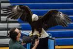 Bald Eagle 9