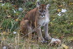 Cougar 17