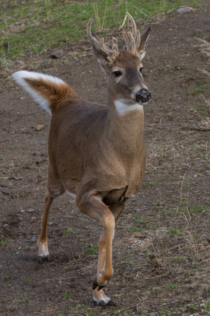 White-Tailed Deer 11 by CastleGraphics