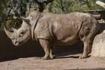 White Rhino 6
