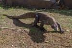 Komodo Dragon 6