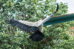 King Vulture 3 by CastleGraphics