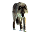 PNG Wolf