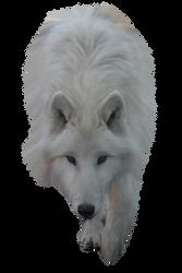 White Wolf by ITSDura