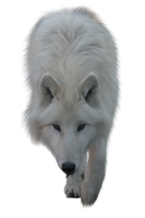 White Wolf by ITSDura