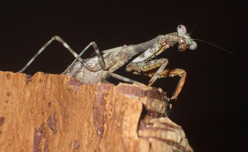 budwing mantis by ENRAGEDBAKU