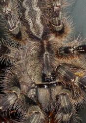 Poecilotheria species by ENRAGEDBAKU