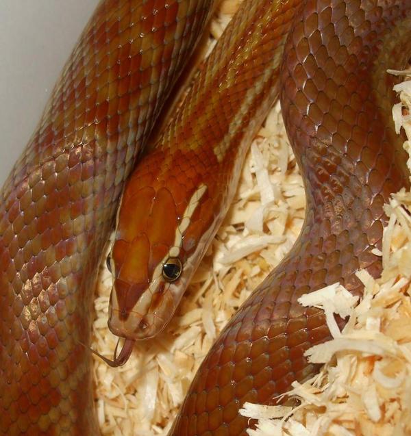 african house snake by ENRAGEDBAKU