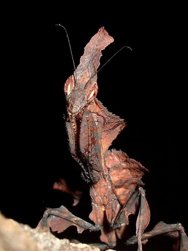 Ghost mantis by ENRAGEDBAKU