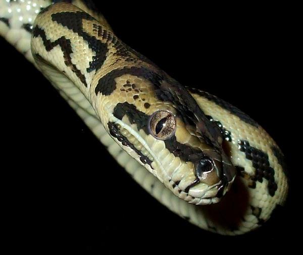 carpet python by ENRAGEDBAKU