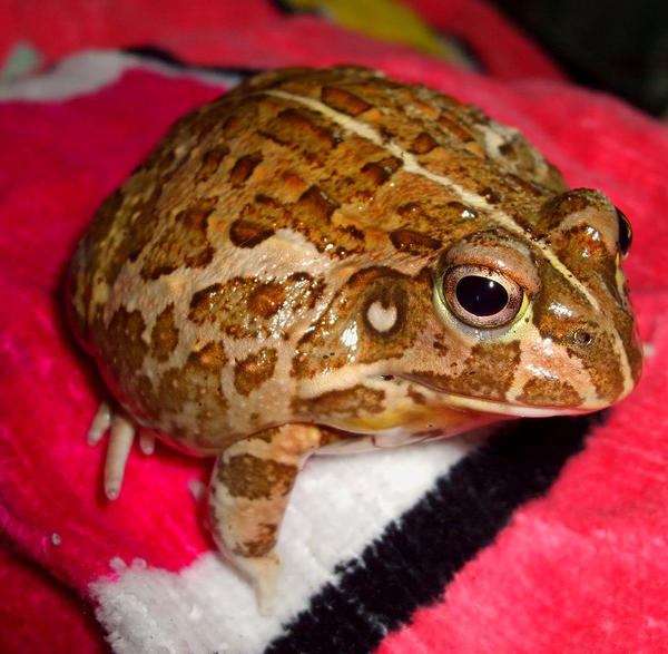 dwarf bullfrog by ENRAGEDBAKU