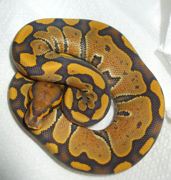 hypo ball python by ENRAGEDBAKU