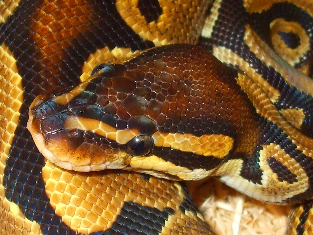 ball python by ENRAGEDBAKU