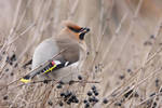 Common Waxwing