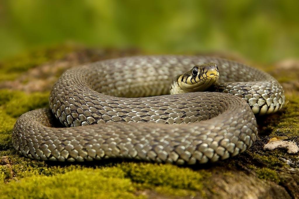 Grass snake by CyprianMielczarek