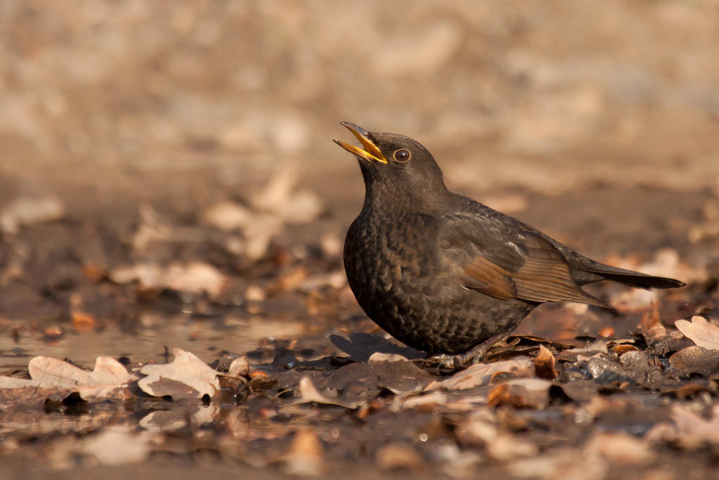 Common Blackbird by CyprianMielczarek