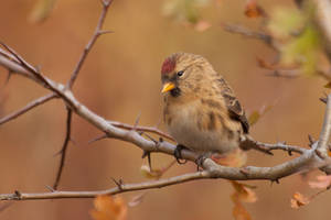 Common Redpoll by CyprianMielczarek