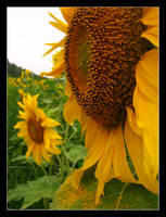 Sunflowers by AlisaS