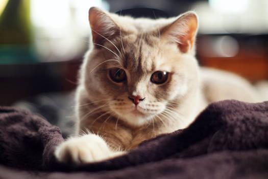 Bubi the British cat