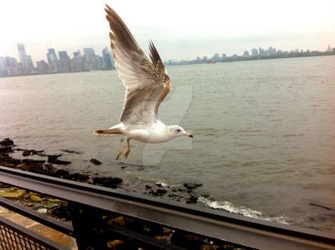 Seagulls of Staten Island